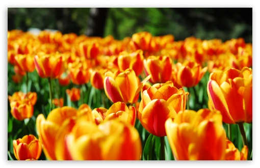 Tulips ❤ 4K UHD Wallpaper for Wide 16:10 5:3 Widescreen WHXGA WQXGA WUXGA WXGA WGA ; 4K UHD 16:9 Ultra High Definition 2160p 1440p 1080p 900p 720p ; Standard 4:3 5:4 3:2 Fullscreen UXGA XGA SVGA QSXGA SXGA DVGA HVGA HQVGA ( Apple PowerBook G4 iPhone 4 3G 3GS iPod Touch ) ; Tablet 1:1 ; iPad 1/2/Mini ; Mobile 4:3 5:3 3:2 16:9 5:4 - UXGA XGA SVGA WGA DVGA HVGA HQVGA ( Apple PowerBook G4 iPhone 4 3G 3GS iPod Touch ) 2160p 1440p 1080p 900p 720p QSXGA SXGA ; Dual 5:4 QSXGA SXGA ;