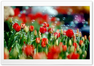 Tulips And Bubbles HD Wide Wallpaper for Widescreen