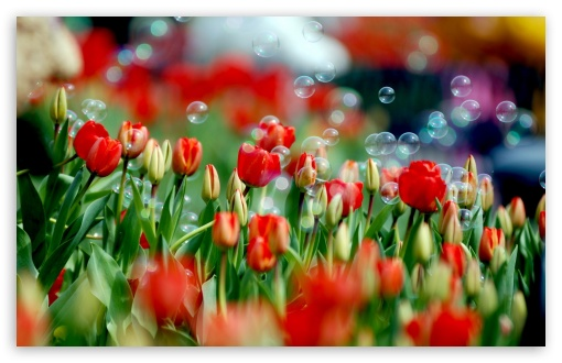Tulips And Bubbles HD wallpaper for Wide 16:10 5:3 Widescreen WHXGA WQXGA WUXGA WXGA WGA ; HD 16:9 High Definition WQHD QWXGA 1080p 900p 720p QHD nHD ; Standard 4:3 5:4 3:2 Fullscreen UXGA XGA SVGA QSXGA SXGA DVGA HVGA HQVGA devices ( Apple PowerBook G4 iPhone 4 3G 3GS iPod Touch ) ; Tablet 1:1 ; iPad 1/2/Mini ; Mobile 4:3 5:3 3:2 16:9 5:4 - UXGA XGA SVGA WGA DVGA HVGA HQVGA devices ( Apple PowerBook G4 iPhone 4 3G 3GS iPod Touch ) WQHD QWXGA 1080p 900p 720p QHD nHD QSXGA SXGA ; Dual 4:3 5:4 UXGA XGA SVGA QSXGA SXGA ;
