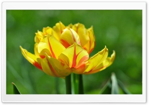 Tulips Bloom HD Wide Wallpaper for Widescreen