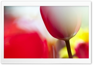 Tulips Bokeh HD Wide Wallpaper for Widescreen