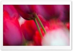 Tulips Close up HD Wide Wallpaper for Widescreen