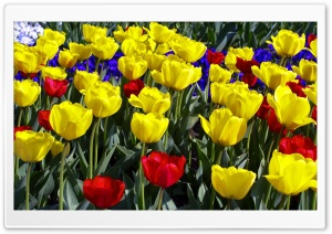 Tulips Colors HD Wide Wallpaper for Widescreen