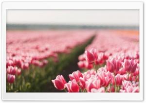Tulips Field HD Wide Wallpaper for Widescreen