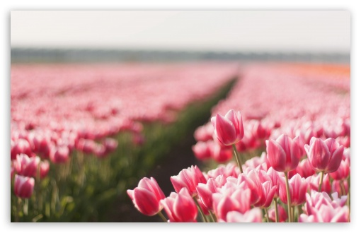 Tulips Field HD wallpaper for Wide 16:10 5:3 Widescreen WHXGA WQXGA WUXGA WXGA WGA ; HD 16:9 High Definition WQHD QWXGA 1080p 900p 720p QHD nHD ; UHD 16:9 WQHD QWXGA 1080p 900p 720p QHD nHD ; Standard 4:3 5:4 3:2 Fullscreen UXGA XGA SVGA QSXGA SXGA DVGA HVGA HQVGA devices ( Apple PowerBook G4 iPhone 4 3G 3GS iPod Touch ) ; Tablet 1:1 ; iPad 1/2/Mini ; Mobile 4:3 5:3 3:2 16:9 5:4 - UXGA XGA SVGA WGA DVGA HVGA HQVGA devices ( Apple PowerBook G4 iPhone 4 3G 3GS iPod Touch ) WQHD QWXGA 1080p 900p 720p QHD nHD QSXGA SXGA ; Dual 16:10 4:3 5:4 WHXGA WQXGA WUXGA WXGA UXGA XGA SVGA QSXGA SXGA ;
