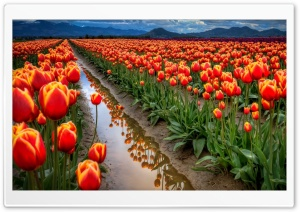 Tulips Field HD Wide Wallpaper for 4K UHD Widescreen desktop & smartphone