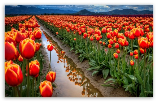 Tulips Field HD wallpaper for Wide 16:10 5:3 Widescreen WHXGA WQXGA WUXGA WXGA WGA ; HD 16:9 High Definition WQHD QWXGA 1080p 900p 720p QHD nHD ; Standard 4:3 5:4 3:2 Fullscreen UXGA XGA SVGA QSXGA SXGA DVGA HVGA HQVGA devices ( Apple PowerBook G4 iPhone 4 3G 3GS iPod Touch ) ; Tablet 1:1 ; iPad 1/2/Mini ; Mobile 4:3 5:3 3:2 16:9 5:4 - UXGA XGA SVGA WGA DVGA HVGA HQVGA devices ( Apple PowerBook G4 iPhone 4 3G 3GS iPod Touch ) WQHD QWXGA 1080p 900p 720p QHD nHD QSXGA SXGA ;