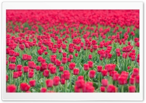Tulips Field Ultra HD Wallpaper for 4K UHD Widescreen desktop, tablet & smartphone