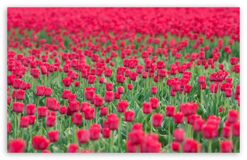 Tulips Field HD wallpaper for Wide 16:10 5:3 Widescreen WHXGA WQXGA WUXGA WXGA WGA ; HD 16:9 High Definition WQHD QWXGA 1080p 900p 720p QHD nHD ; Standard 4:3 5:4 3:2 Fullscreen UXGA XGA SVGA QSXGA SXGA DVGA HVGA HQVGA devices ( Apple PowerBook G4 iPhone 4 3G 3GS iPod Touch ) ; Tablet 1:1 ; iPad 1/2/Mini ; Mobile 4:3 5:3 3:2 16:9 5:4 - UXGA XGA SVGA WGA DVGA HVGA HQVGA devices ( Apple PowerBook G4 iPhone 4 3G 3GS iPod Touch ) WQHD QWXGA 1080p 900p 720p QHD nHD QSXGA SXGA ; Dual 16:10 5:3 16:9 4:3 5:4 WHXGA WQXGA WUXGA WXGA WGA WQHD QWXGA 1080p 900p 720p QHD nHD UXGA XGA SVGA QSXGA SXGA ;