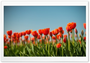 Tulips Flowers, Dutch Spring Ultra HD Wallpaper for 4K UHD Widescreen desktop, tablet & smartphone