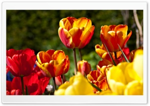 Tulips In Bloom HD Wide Wallpaper for 4K UHD Widescreen desktop & smartphone