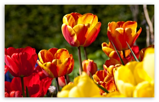 Tulips In Bloom HD wallpaper for Wide 16:10 5:3 Widescreen WHXGA WQXGA WUXGA WXGA WGA ; HD 16:9 High Definition WQHD QWXGA 1080p 900p 720p QHD nHD ; Standard 4:3 5:4 3:2 Fullscreen UXGA XGA SVGA QSXGA SXGA DVGA HVGA HQVGA devices ( Apple PowerBook G4 iPhone 4 3G 3GS iPod Touch ) ; Tablet 1:1 ; iPad 1/2/Mini ; Mobile 4:3 5:3 3:2 16:9 5:4 - UXGA XGA SVGA WGA DVGA HVGA HQVGA devices ( Apple PowerBook G4 iPhone 4 3G 3GS iPod Touch ) WQHD QWXGA 1080p 900p 720p QHD nHD QSXGA SXGA ;