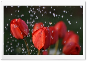 Tulips In Rain HD Wide Wallpaper for Widescreen