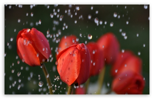 Tulips In Rain HD wallpaper for Wide 16:10 5:3 Widescreen WHXGA WQXGA WUXGA WXGA WGA ; HD 16:9 High Definition WQHD QWXGA 1080p 900p 720p QHD nHD ; Standard 4:3 5:4 3:2 Fullscreen UXGA XGA SVGA QSXGA SXGA DVGA HVGA HQVGA devices ( Apple PowerBook G4 iPhone 4 3G 3GS iPod Touch ) ; Tablet 1:1 ; iPad 1/2/Mini ; Mobile 4:3 5:3 3:2 16:9 5:4 - UXGA XGA SVGA WGA DVGA HVGA HQVGA devices ( Apple PowerBook G4 iPhone 4 3G 3GS iPod Touch ) WQHD QWXGA 1080p 900p 720p QHD nHD QSXGA SXGA ;