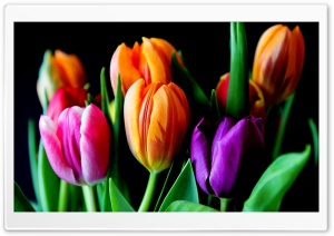 Tulips On Black Background HD Wide Wallpaper for 4K UHD Widescreen desktop & smartphone