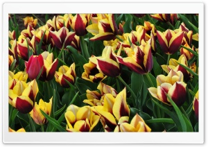 Tulips Plantation HD Wide Wallpaper for Widescreen