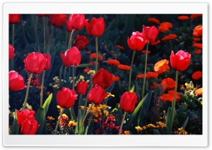 Tulips, Red Tulips HD Wide Wallpaper for Widescreen