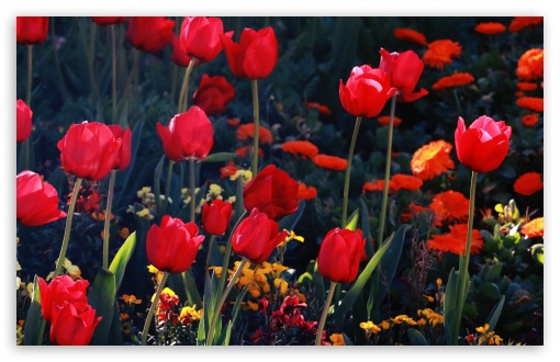 Tulips, Red Tulips ❤ 4K UHD Wallpaper for Wide 16:10 5:3 Widescreen WHXGA WQXGA WUXGA WXGA WGA ; 4K UHD 16:9 Ultra High Definition 2160p 1440p 1080p 900p 720p ; UHD 16:9 2160p 1440p 1080p 900p 720p ; Standard 4:3 5:4 3:2 Fullscreen UXGA XGA SVGA QSXGA SXGA DVGA HVGA HQVGA ( Apple PowerBook G4 iPhone 4 3G 3GS iPod Touch ) ; Smartphone 5:3 WGA ; Tablet 1:1 ; iPad 1/2/Mini ; Mobile 4:3 5:3 3:2 16:9 5:4 - UXGA XGA SVGA WGA DVGA HVGA HQVGA ( Apple PowerBook G4 iPhone 4 3G 3GS iPod Touch ) 2160p 1440p 1080p 900p 720p QSXGA SXGA ;