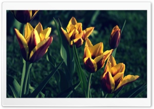Tulips, Spring HD Wide Wallpaper for 4K UHD Widescreen desktop & smartphone