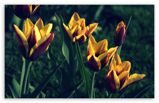 Tulips, Spring ❤ 4K UHD Wallpaper for Wide 16:10 5:3 Widescreen WHXGA WQXGA WUXGA WXGA WGA ; 4K UHD 16:9 Ultra High Definition 2160p 1440p 1080p 900p 720p ; UHD 16:9 2160p 1440p 1080p 900p 720p ; Standard 4:3 5:4 3:2 Fullscreen UXGA XGA SVGA QSXGA SXGA DVGA HVGA HQVGA ( Apple PowerBook G4 iPhone 4 3G 3GS iPod Touch ) ; Tablet 1:1 ; iPad 1/2/Mini ; Mobile 4:3 5:3 3:2 16:9 5:4 - UXGA XGA SVGA WGA DVGA HVGA HQVGA ( Apple PowerBook G4 iPhone 4 3G 3GS iPod Touch ) 2160p 1440p 1080p 900p 720p QSXGA SXGA ;