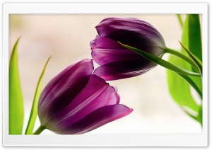 Tulips Violet Petals HD Wide Wallpaper for Widescreen
