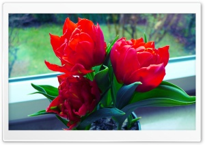 Tulpen HD Wide Wallpaper for Widescreen