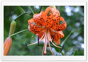 Turk's Cap Lily HD Wide Wallpaper for Widescreen