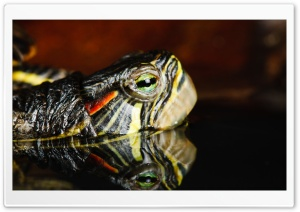Turtle Reflection HD Wide Wallpaper for Widescreen