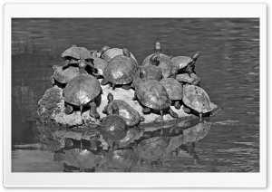 Turtles Black and White HD Wide Wallpaper for 4K UHD Widescreen desktop & smartphone