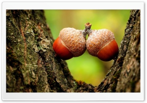 Two Acorns Close Up HD Wide Wallpaper for 4K UHD Widescreen desktop & smartphone