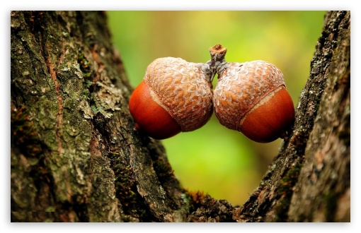 Two Acorns Close Up ❤ 4K UHD Wallpaper for Wide 16:10 5:3 Widescreen WHXGA WQXGA WUXGA WXGA WGA ; 4K UHD 16:9 Ultra High Definition 2160p 1440p 1080p 900p 720p ; Standard 4:3 5:4 3:2 Fullscreen UXGA XGA SVGA QSXGA SXGA DVGA HVGA HQVGA ( Apple PowerBook G4 iPhone 4 3G 3GS iPod Touch ) ; Tablet 1:1 ; iPad 1/2/Mini ; Mobile 4:3 5:3 3:2 16:9 5:4 - UXGA XGA SVGA WGA DVGA HVGA HQVGA ( Apple PowerBook G4 iPhone 4 3G 3GS iPod Touch ) 2160p 1440p 1080p 900p 720p QSXGA SXGA ;