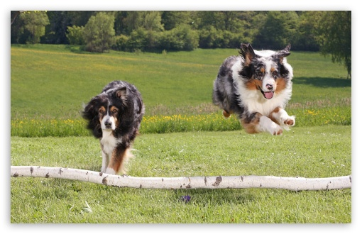 Two Australian Sheperds Jumping HD wallpaper for Wide 16:10 5:3 Widescreen WHXGA WQXGA WUXGA WXGA WGA ; HD 16:9 High Definition WQHD QWXGA 1080p 900p 720p QHD nHD ; Standard 4:3 5:4 3:2 Fullscreen UXGA XGA SVGA QSXGA SXGA DVGA HVGA HQVGA devices ( Apple PowerBook G4 iPhone 4 3G 3GS iPod Touch ) ; iPad 1/2/Mini ; Mobile 4:3 5:3 3:2 16:9 5:4 - UXGA XGA SVGA WGA DVGA HVGA HQVGA devices ( Apple PowerBook G4 iPhone 4 3G 3GS iPod Touch ) WQHD QWXGA 1080p 900p 720p QHD nHD QSXGA SXGA ;