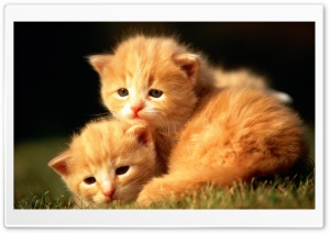 Two Baby Kittens HD Wide Wallpaper for 4K UHD Widescreen desktop & smartphone