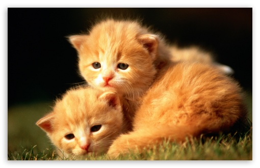 Two Baby Kittens HD wallpaper for Wide 16:10 5:3 Widescreen WHXGA WQXGA WUXGA WXGA WGA ; HD 16:9 High Definition WQHD QWXGA 1080p 900p 720p QHD nHD ; Standard 4:3 5:4 3:2 Fullscreen UXGA XGA SVGA QSXGA SXGA DVGA HVGA HQVGA devices ( Apple PowerBook G4 iPhone 4 3G 3GS iPod Touch ) ; iPad 1/2/Mini ; Mobile 4:3 5:3 3:2 16:9 5:4 - UXGA XGA SVGA WGA DVGA HVGA HQVGA devices ( Apple PowerBook G4 iPhone 4 3G 3GS iPod Touch ) WQHD QWXGA 1080p 900p 720p QHD nHD QSXGA SXGA ;