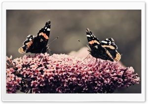 Two Beautiful Butterflies HD Wide Wallpaper for Widescreen