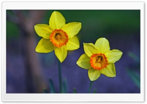 Two Beautiful Daffodils HD Wide Wallpaper for Widescreen