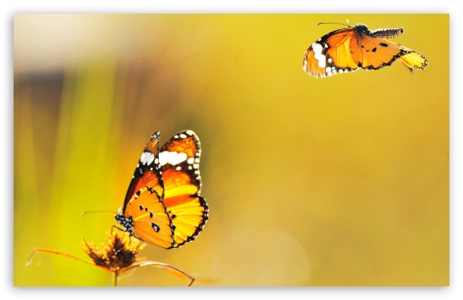Two Butterflies Went Out at Noon ❤ 4K UHD Wallpaper for Wide 16:10 5:3 Widescreen WHXGA WQXGA WUXGA WXGA WGA ; 4K UHD 16:9 Ultra High Definition 2160p 1440p 1080p 900p 720p ; Standard 4:3 3:2 Fullscreen UXGA XGA SVGA DVGA HVGA HQVGA ( Apple PowerBook G4 iPhone 4 3G 3GS iPod Touch ) ; Tablet 1:1 ; iPad 1/2/Mini ; Mobile 4:3 5:3 3:2 16:9 - UXGA XGA SVGA WGA DVGA HVGA HQVGA ( Apple PowerBook G4 iPhone 4 3G 3GS iPod Touch ) 2160p 1440p 1080p 900p 720p ; Dual 4:3 5:4 UXGA XGA SVGA QSXGA SXGA ;