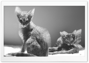 Two Cats Black And White HD Wide Wallpaper for 4K UHD Widescreen desktop & smartphone