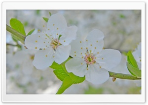 Two Cherry Flowers HD Wide Wallpaper for 4K UHD Widescreen desktop & smartphone