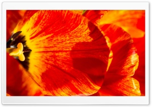 Two Colors Tulips HD Wide Wallpaper for Widescreen