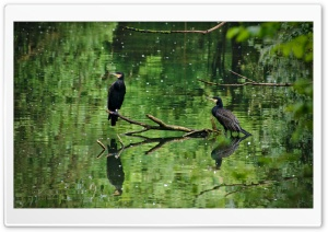 Two Cormorants Birds HD Wide Wallpaper for Widescreen