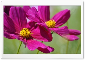 Two Cosmos Flowers HD Wide Wallpaper for Widescreen
