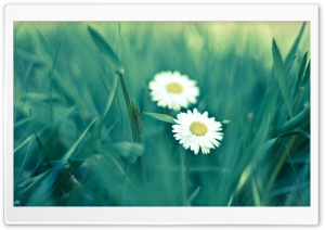 Two Daisies HD Wide Wallpaper for Widescreen