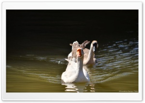 Two Ducks in a Lake HD Wide Wallpaper for Widescreen