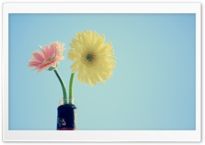 Two Gerbera HD Wide Wallpaper for Widescreen