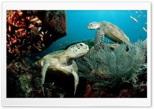 Two Green Sea Turtle HD Wide Wallpaper for Widescreen