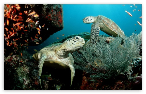 Two Green Sea Turtle HD wallpaper for Wide 16:10 5:3 Widescreen WHXGA WQXGA WUXGA WXGA WGA ; HD 16:9 High Definition WQHD QWXGA 1080p 900p 720p QHD nHD ; Standard 4:3 5:4 3:2 Fullscreen UXGA XGA SVGA QSXGA SXGA DVGA HVGA HQVGA devices ( Apple PowerBook G4 iPhone 4 3G 3GS iPod Touch ) ; Tablet 1:1 ; iPad 1/2/Mini ; Mobile 4:3 5:3 3:2 5:4 - UXGA XGA SVGA WGA DVGA HVGA HQVGA devices ( Apple PowerBook G4 iPhone 4 3G 3GS iPod Touch ) QSXGA SXGA ;
