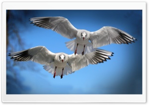 Two Gulls HD Wide Wallpaper for Widescreen