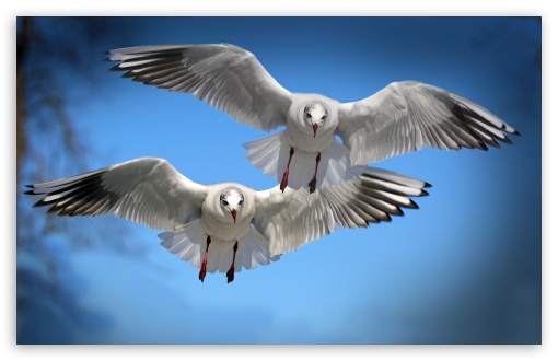 Two Gulls UltraHD Wallpaper for Wide 16:10 5:3 Widescreen WHXGA WQXGA WUXGA WXGA WGA ; 8K UHD TV 16:9 Ultra High Definition 2160p 1440p 1080p 900p 720p ; UHD 16:9 2160p 1440p 1080p 900p 720p ; Standard 4:3 5:4 3:2 Fullscreen UXGA XGA SVGA QSXGA SXGA DVGA HVGA HQVGA ( Apple PowerBook G4 iPhone 4 3G 3GS iPod Touch ) ; Smartphone 5:3 WGA ; Tablet 1:1 ; iPad 1/2/Mini ; Mobile 4:3 5:3 3:2 16:9 5:4 - UXGA XGA SVGA WGA DVGA HVGA HQVGA ( Apple PowerBook G4 iPhone 4 3G 3GS iPod Touch ) 2160p 1440p 1080p 900p 720p QSXGA SXGA ;