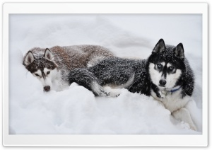 Two Huskies In The Snow HD Wide Wallpaper for Widescreen